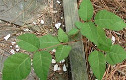 poison ivy (Toxicodendron radicans) by edge of trail, 48kb.