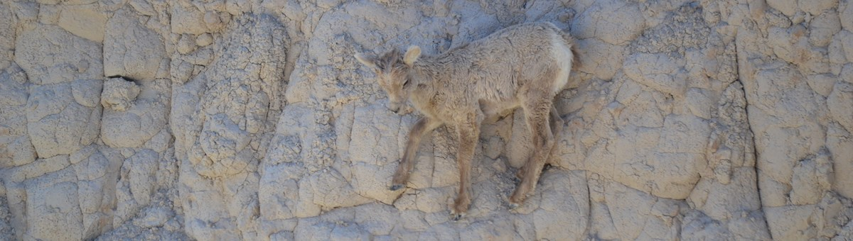 a bighorn sheep lamb carefully places its front hoof on a nearby rock while climbing on a sheer wall.
