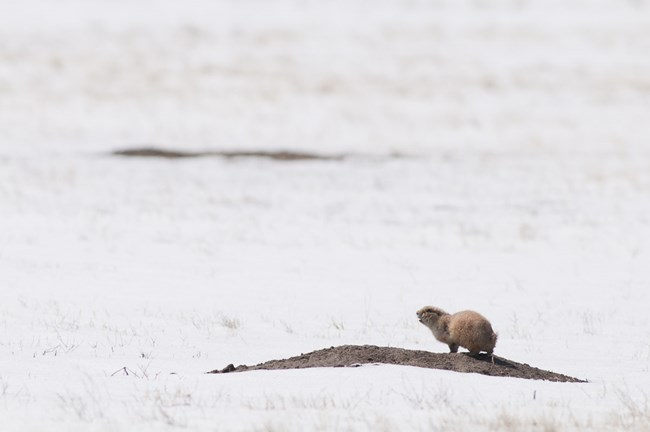 Prairie dog on a mound in the snow