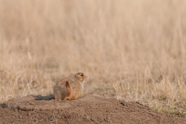 Prairie dog on a mound among prairie grasses