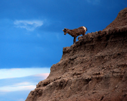 Bighorn sheep lamb on formation