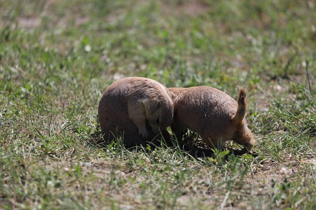 Two prairie dogs playing in the grass