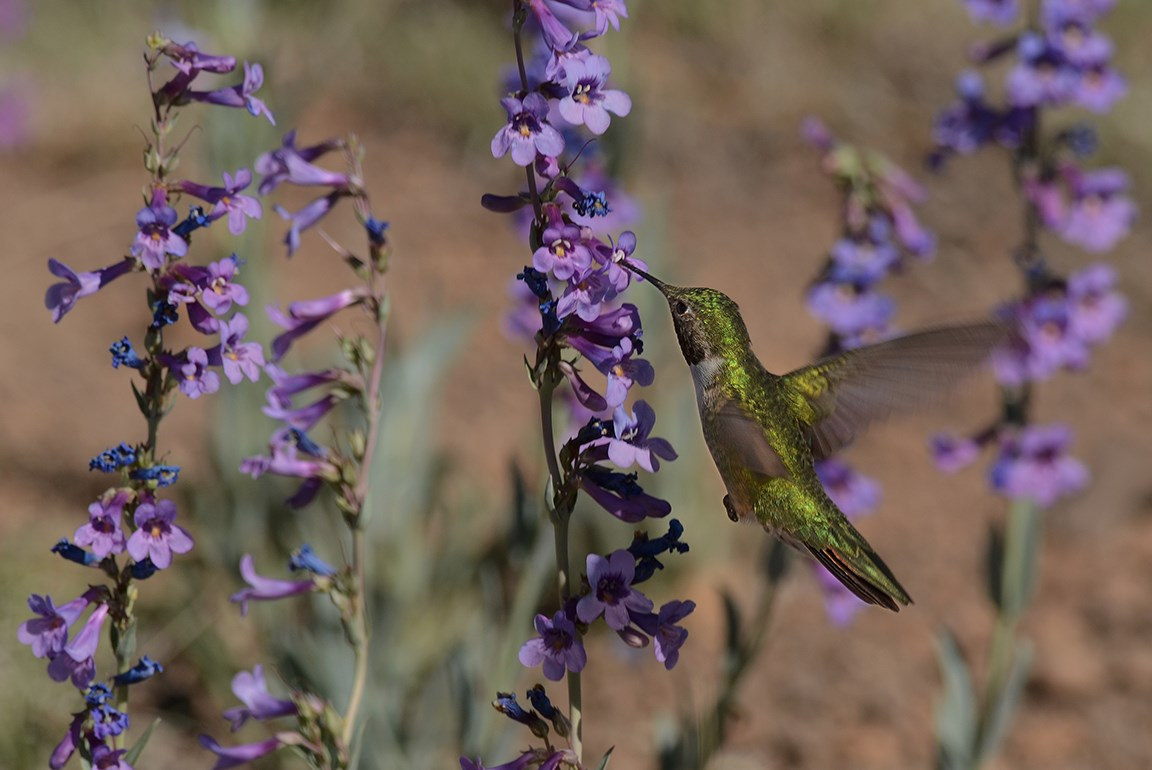broadtail hummer at penstemon