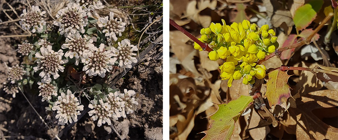 candy tuft and oregon grape