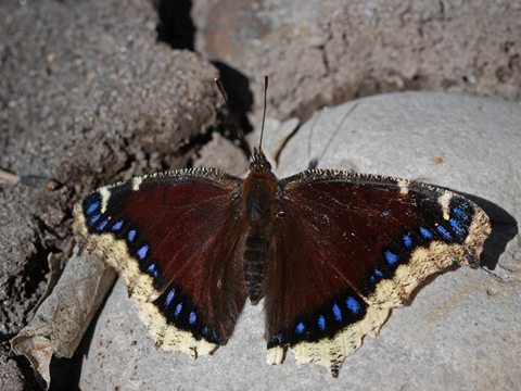 mourning cloak 4
