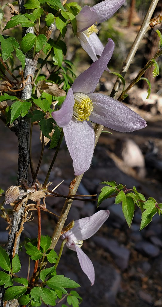 rm clematis