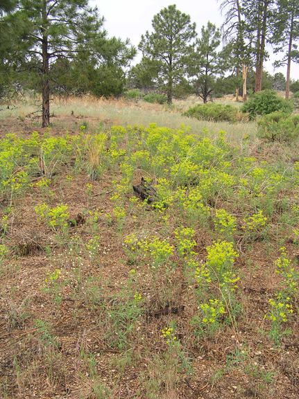 leafy spurge at corral hill