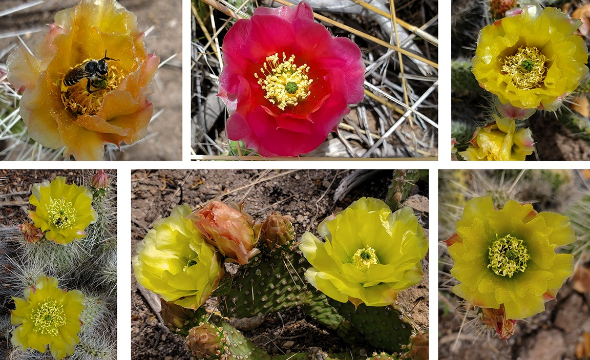 variation in prickly pear