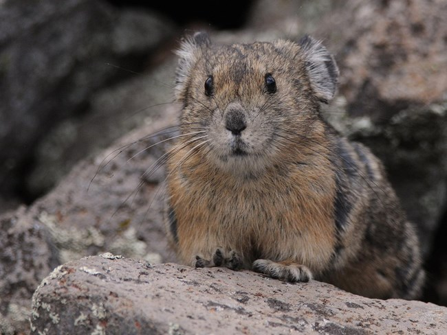 Animal Fact Sheets Bandelier National Monument U S