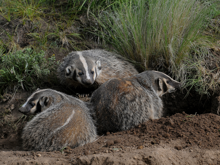 badger family