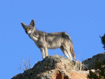 coyote on rocks
