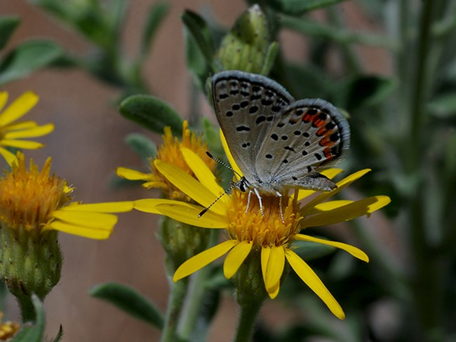 acmon blue on golden aster