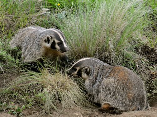 badger mom and pup