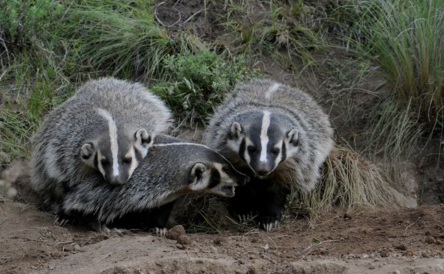 badger mom and pups