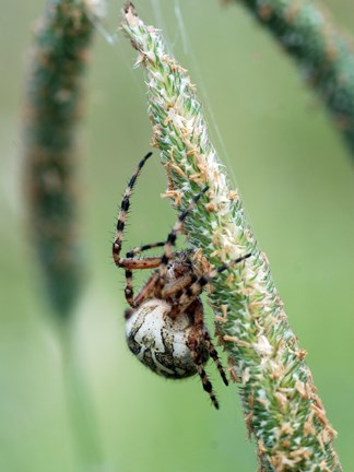 Meadow Spider