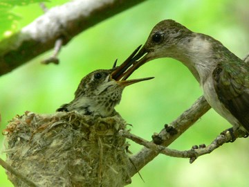Black-chinned hummingbird family