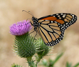 Thistle with Monarch