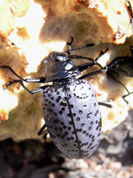 Pleasing Fungus Beetle