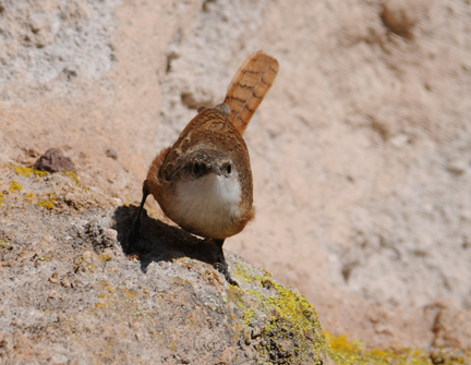 canyon wren 2