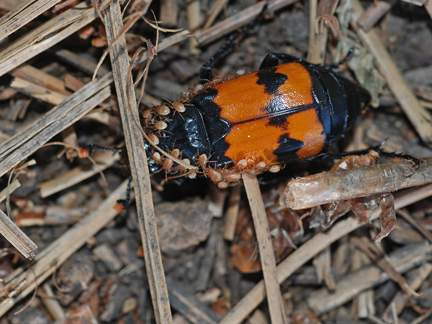 carrion beetle with mites 2