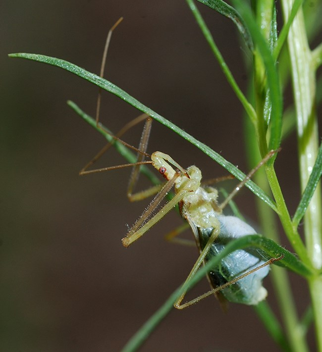 leaf hopper assassin bug