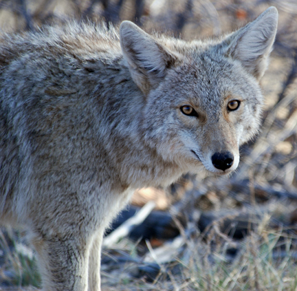 Close-up of a coyote standing in a field