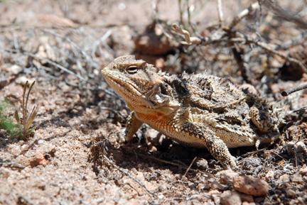 U S Lizard horned lizard