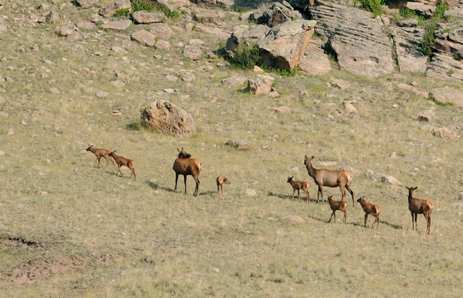 elk moms and calves