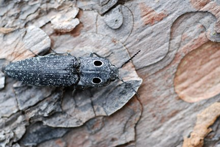 eyed-click beetle
