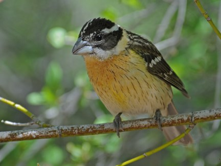female black headed grosbeak 11