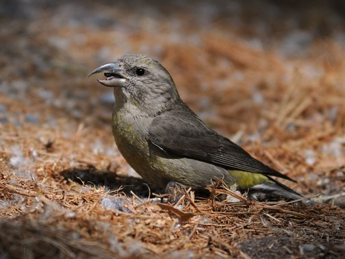 female red crossbill 3