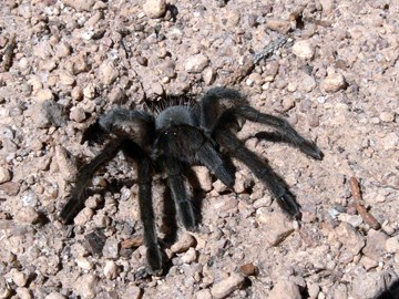 female tarantula
