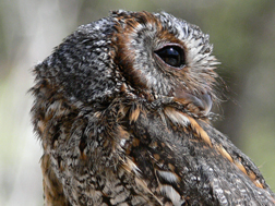 flammulated owl 2