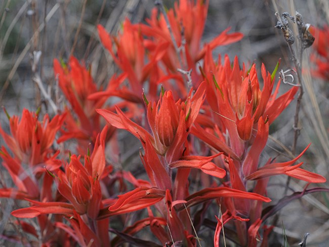 foothills paintbrush