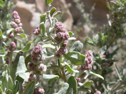 Four-winged Saltbush