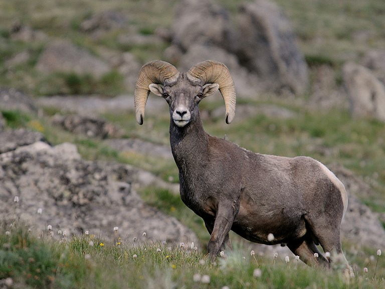 male big-horned sheep