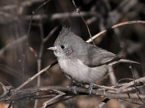 juniper titmouse 3