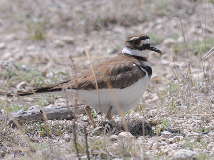 Killdeer with eggs