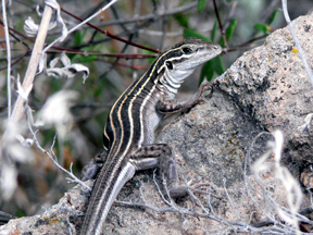 Whiptailed Lizard
