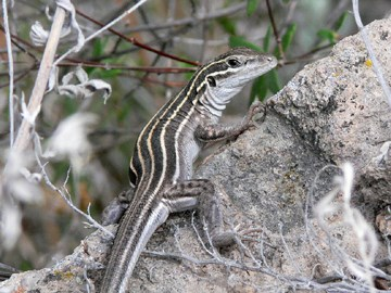 plateau whiptail