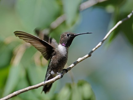 male black chin hummer
