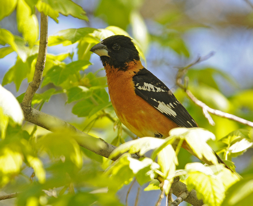 male black headed grosbeak