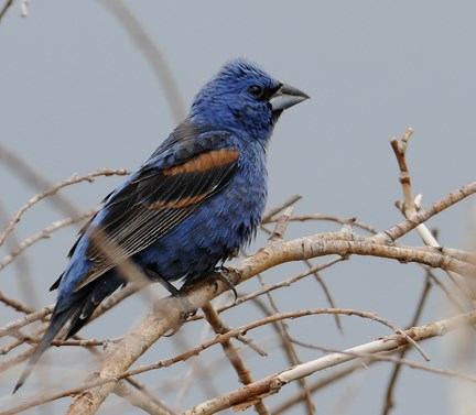 male blue grosbeak 2