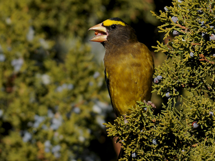 male evening grosbeak 14b