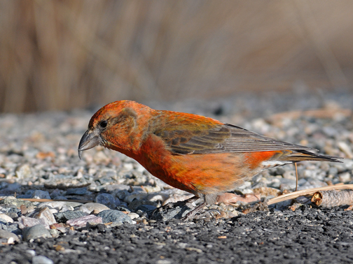 male red crossbill 49b