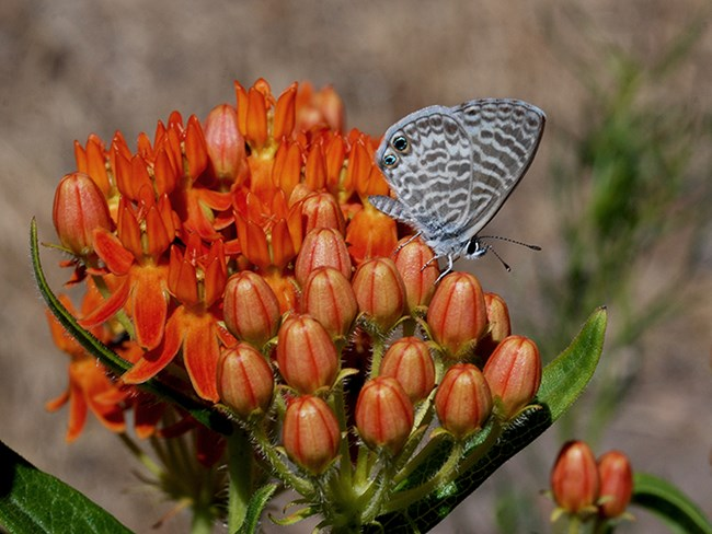 marine blue on butterflyweed