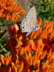 butterfly weed/ marine blue butterfly