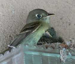 Cordilleran flycatcher with baby
