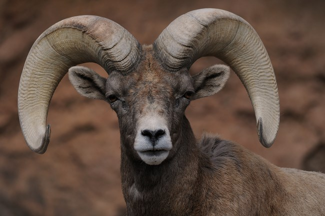 big-horned sheep 2