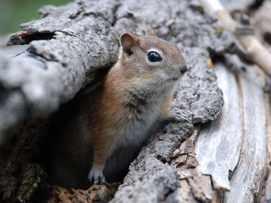 Golden-mantled Groundsquirrel